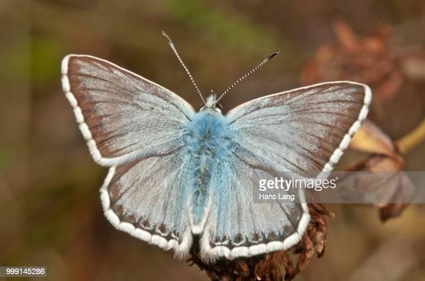 Chalkhill Blue butterfly (Lysandra coridon), male, Neresheim, Baden-Wuerttemberg, Germany