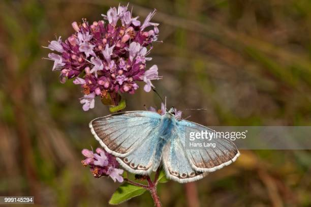 Chalkhill Blue butterfly (Lysandra coridon), male searching for nectar on thyme, Neresheim, Baden-Wuerttemberg, Germany