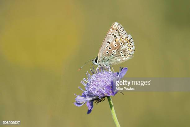 Chalk-hill Blue butterfly, Norfolk