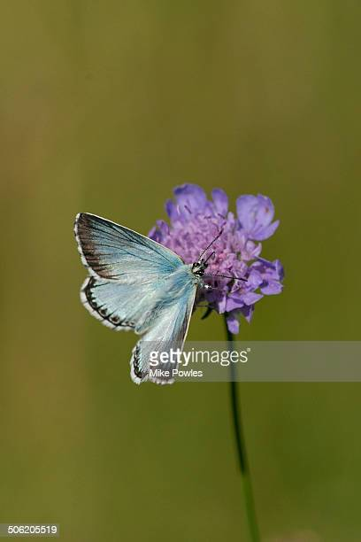 Chalk-hill Blue Butterfly on wild flower
