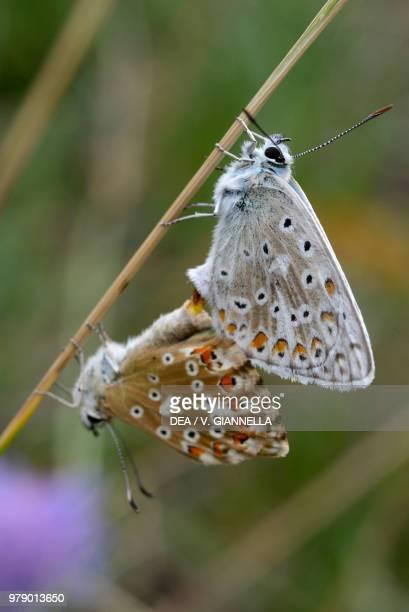 Chalkhill blue during mating Lycaenidae