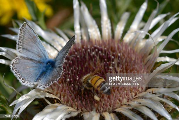 Chalkhill blue Lycaenidae and a bee on Carlina inflorescence