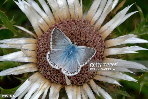 Chalkhill blue Lycaenidae on Carlina inflorescence