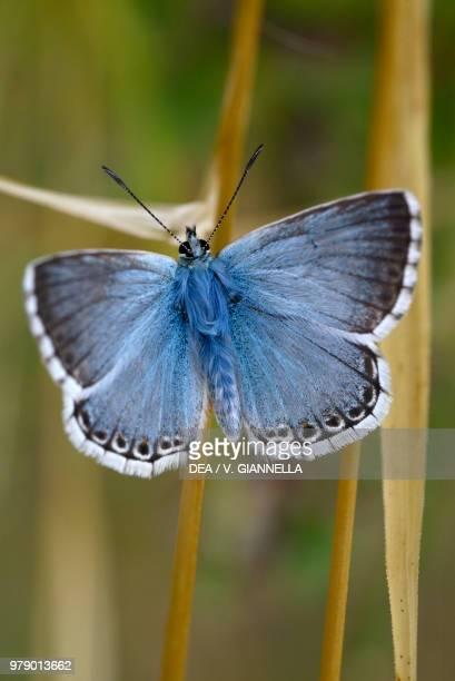Chalkhill blue Lycaenidae