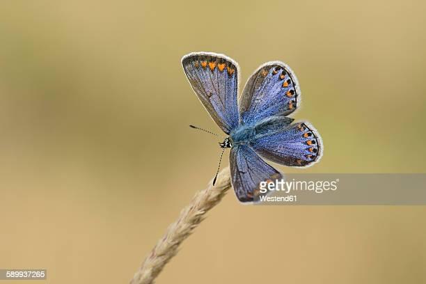Chalkhill blue on a spike