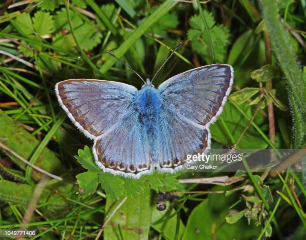 Chalkhill blue [Polyommatus coridon] butterfly