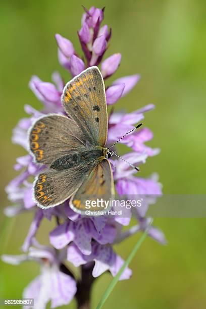 Chalkhill Blue -Polyommatus coridon- male on Orchis, Trenchtling, Hochschwab, Styria, Austria, Europe