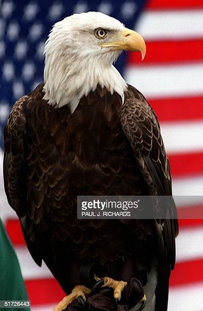 Challenger a 10yearold American Bald Eagle sits in front of the US flag during ceremonies 02 July 1999 at the White House in Washington DC US...