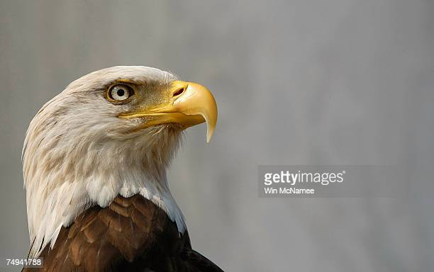 Challenger a bald eagle participates in an event marking the removal of the bald eagle from the endangered species list June 28 2007 at the Jefferson...
