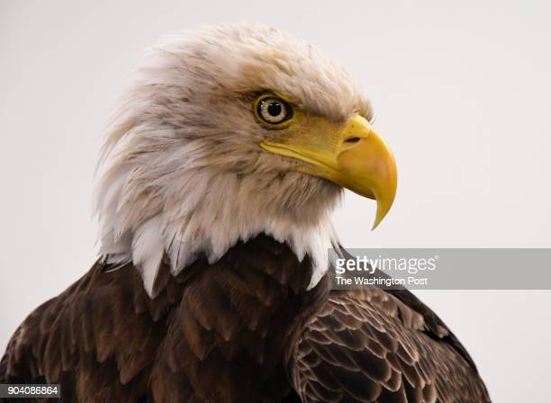 Challenger a nonreleasable bald eagle at Lincoln Financial Field in Philadelphia Pennsylvania on December 31 2017 Challenger who is 28 years old took...