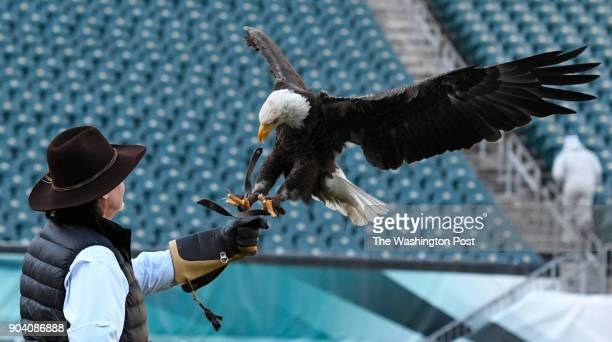 Challenger a nonreleasable bald eagle flies to Al Cecere founder president and CEO of the American Eagle Foundation during a practice flight at...