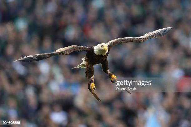 Challenger the Bald Eagle soars in the stadium prior to the NFC Divisional Playoff game between the Atlanta Falcons and the Philadelphia Eagles at...