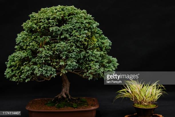 Chamaecyparis Pisifern 'Boulevard' Bonsai is displayed during staging day for the Harrogate Autumn Flower Show on September 12 2019 in Harrogate...