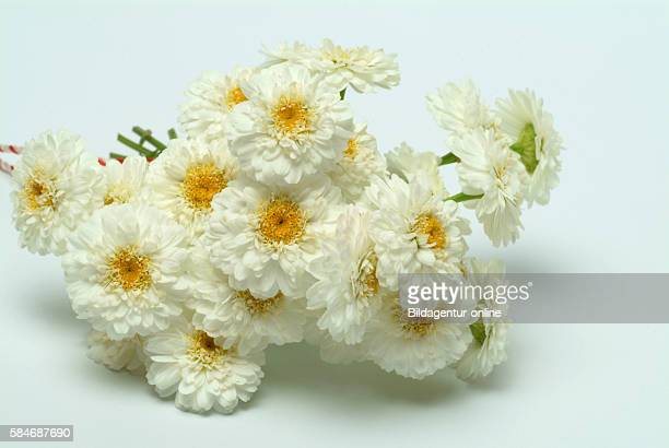 Chamaemelum nobile chamomile Roman chamomile The plant is used to flavor foods in herbal teas perfumes and cosmetics