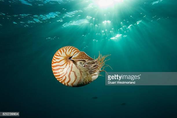 chambered nautilus - nautilus stock pictures, royalty-free photos & images