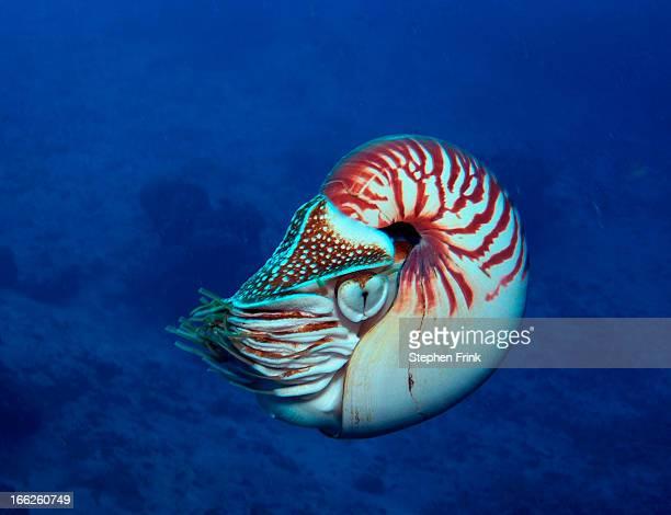Chambered Nautilus swimming