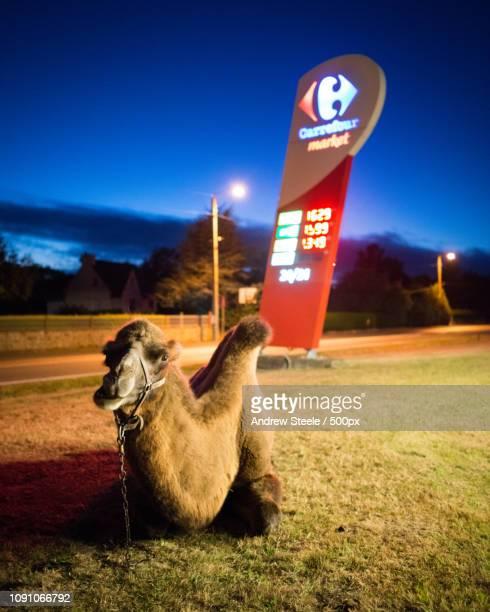 chameau chez Carrefour