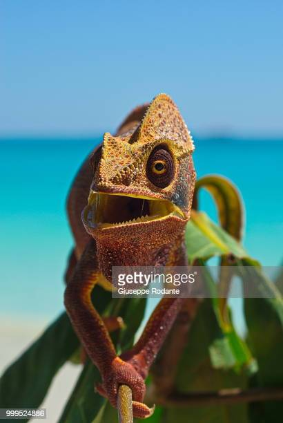 chameleon 6 - east african chameleon stock pictures, royalty-free photos & images