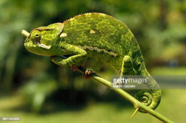 chameleon - bamburi - kenya - east african chameleon stock pictures, royalty-free photos & images