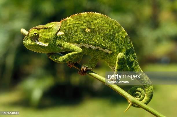 chameleon - bamburi - kenya - camaleón fotografías e imágenes de stock