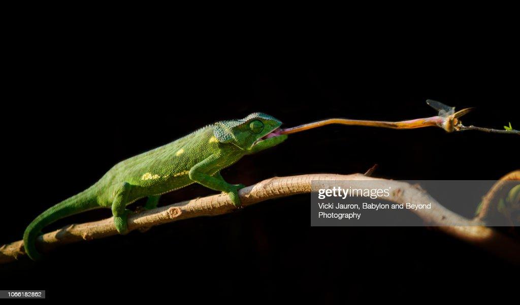 Chameleon Catching a Dragonfly at Matusadona, Zimbabwe : Stock Photo