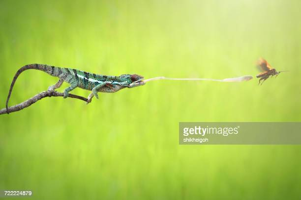 Chameleon catching prey, Indonesia