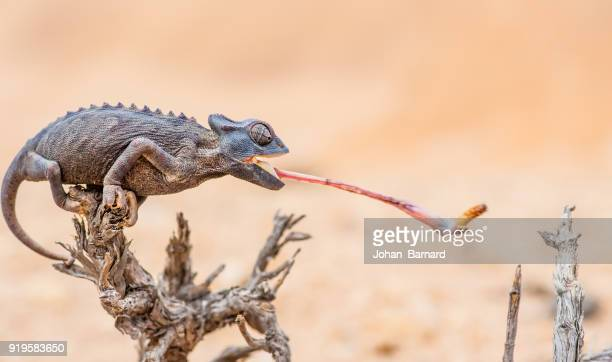 chameleon catching prey, namib desert, namibia - dry mouth stock photos and pictures