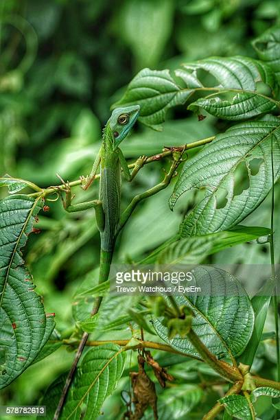 Chameleon Climbing On Green Plant