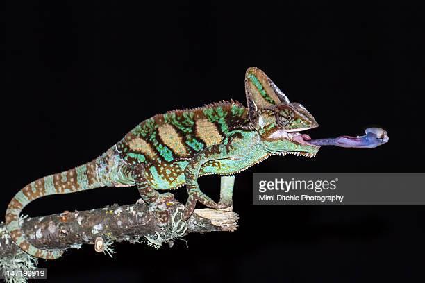 Chameleon eating Cricket