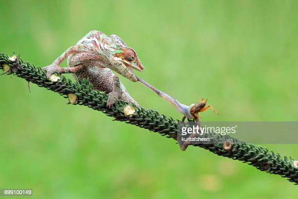 Chameleon feeding on an insect, Indonesia