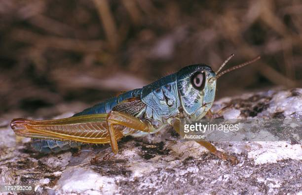 Chameleon grasshopper Kosciuscola tristis Males are change color with temperature black if cold blue at night Kosciuszko National Park New South...
