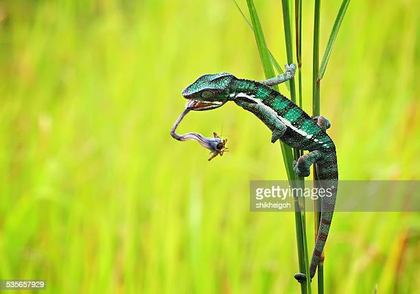 Chameleon hunting an insect, Batam City, Riau Islands, Indonesia