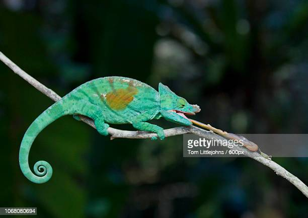 chameleon hunting for insect - east african chameleon stock pictures, royalty-free photos & images