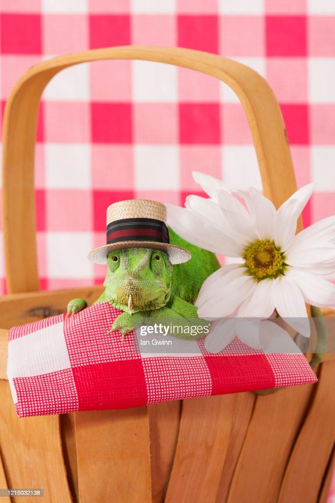 Chameleon in Picnic Basket : Stock Photo