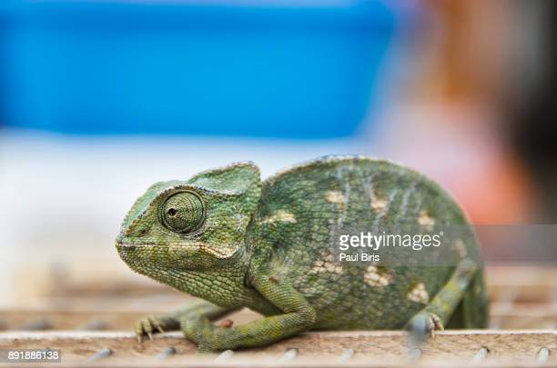 Chameleon  in souk in medina of Marrakesh, Morocco, North Africa, Africa