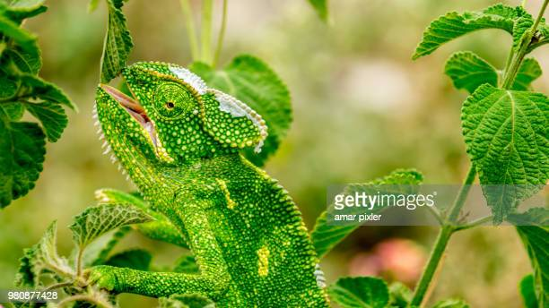 a chameleon in spain. - disguise stock pictures, royalty-free photos & images