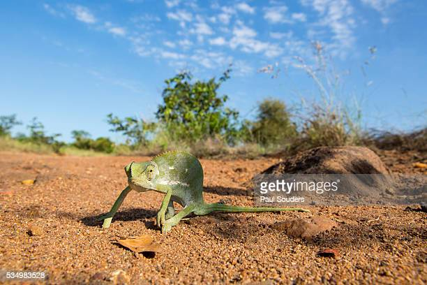 chameleon, kruger national park, south africa - mpumalanga province stock pictures, royalty-free photos & images