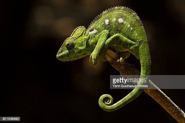 chameleon, madagascar - east african chameleon stock pictures, royalty-free photos & images