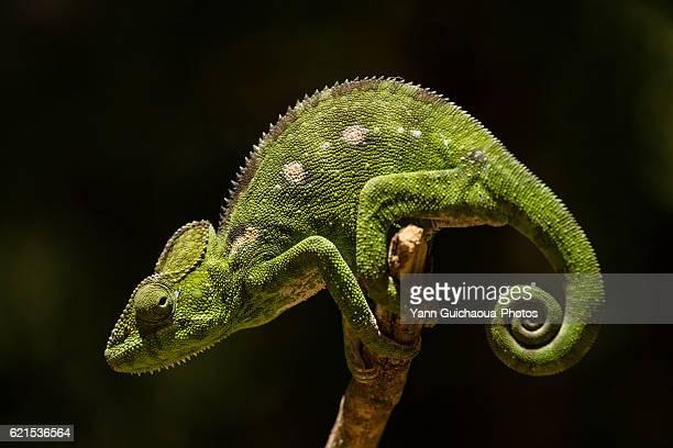 Chameleon, Madagascar
