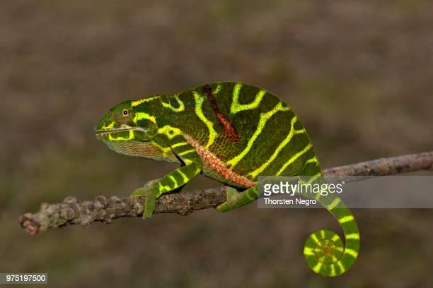 Chameleon of the newly discovered species Furcifer timoni, female, Montagne d'Ambre, Madagascar