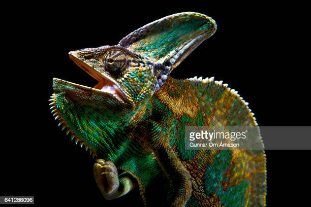 chameleon on a black background - gunnar örn árnason stock pictures, royalty-free photos & images