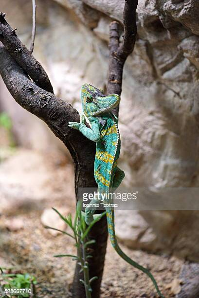 chameleon on a tree - ugly baby photos et images de collection
