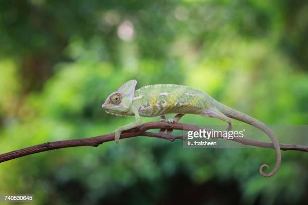 Chameleon on branch, Indonesia