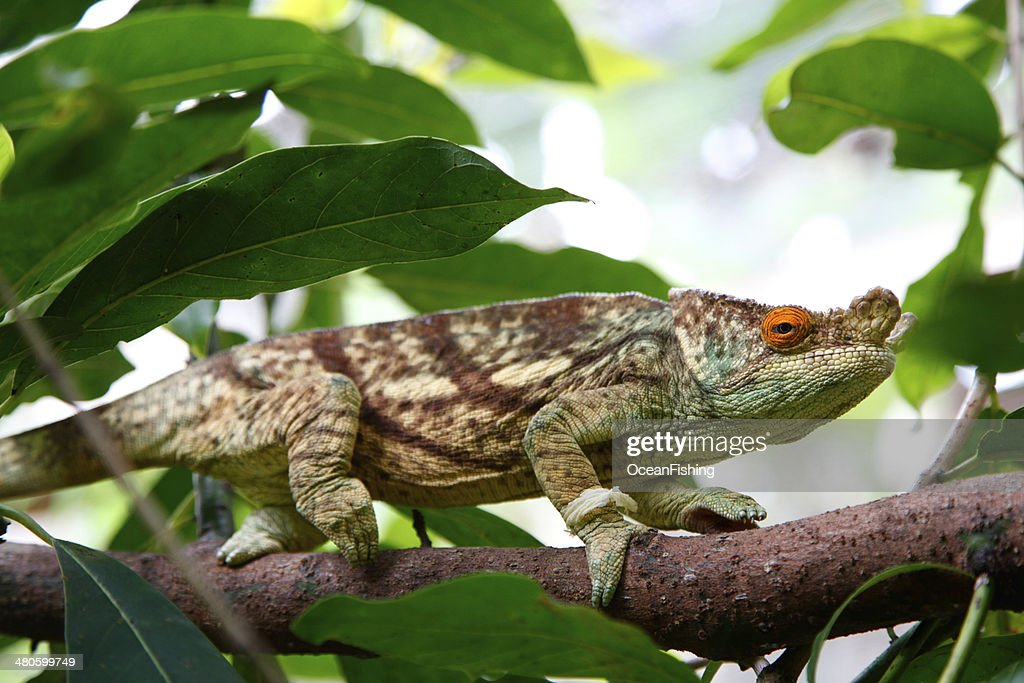 Chameleon on branch : Stock Photo
