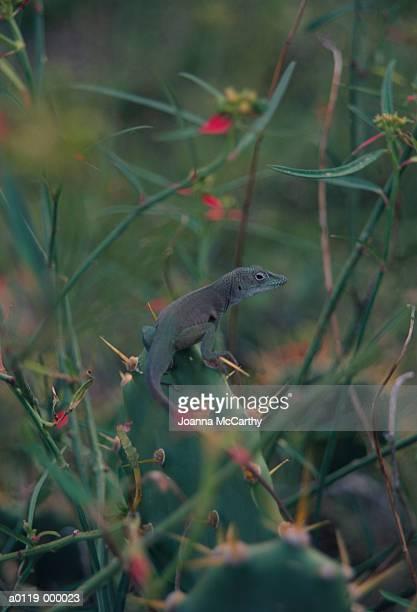 Chameleon on Cacti