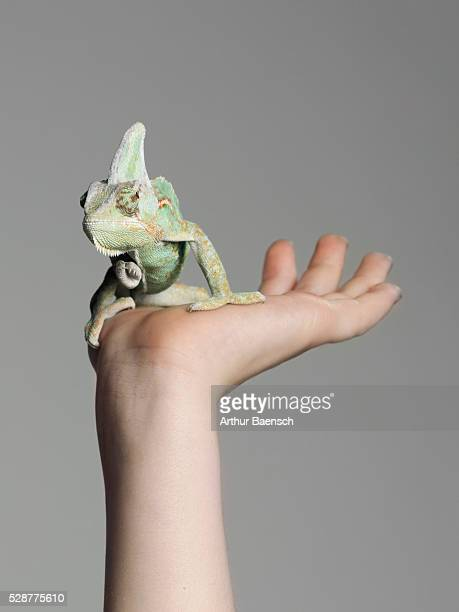 Chameleon on person's hand