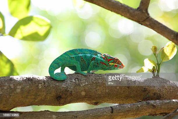 camaleón de árbol. furcifer pardalis - isla reunion fotografías e imágenes de stock