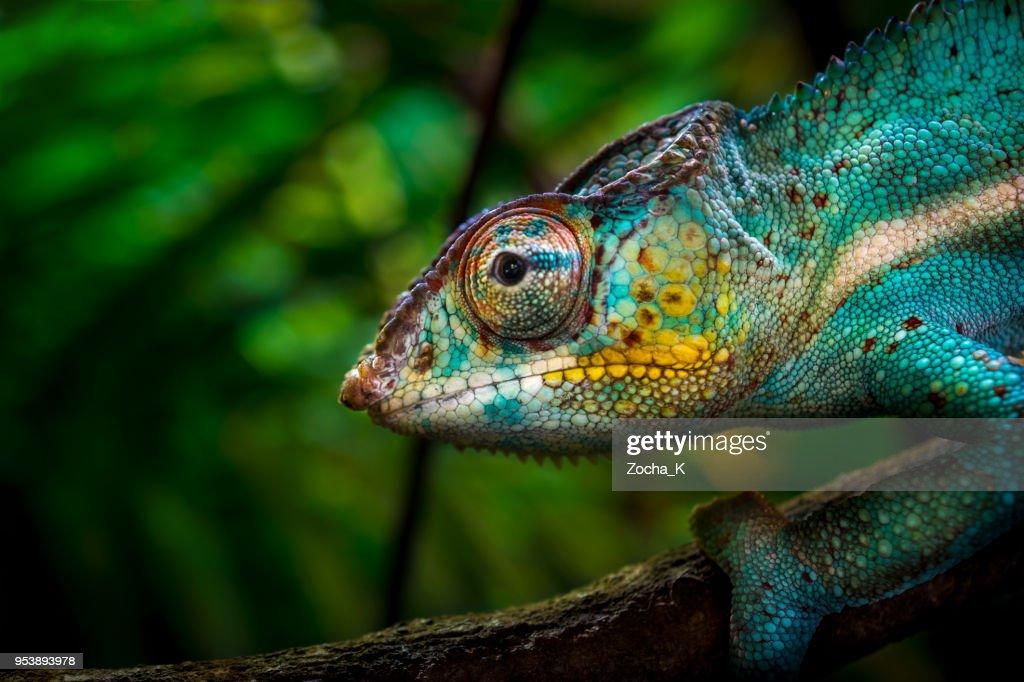 Chameleon on tree : Stock Photo