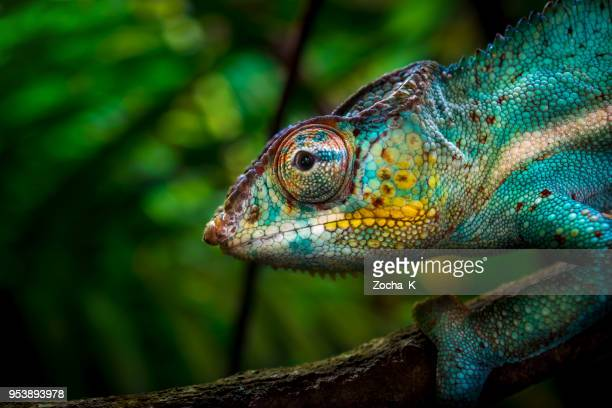 chameleon on tree - multi colored stock pictures, royalty-free photos & images
