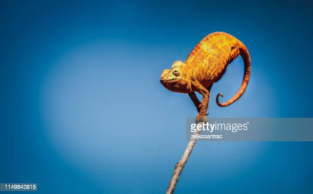 chameleon - east african chameleon stock pictures, royalty-free photos & images